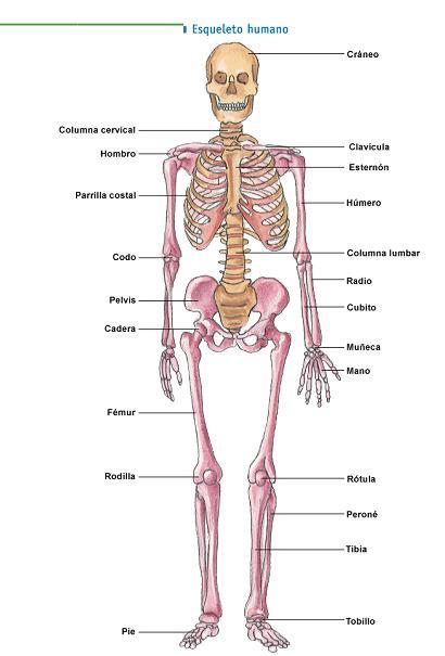 Los huesos del cuerpo humano | Para los peques de la casa.