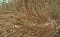 Blog Safari club, Nemo el Pez payaso y su aliada la Anémona de mar