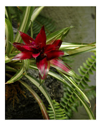 Bromelia