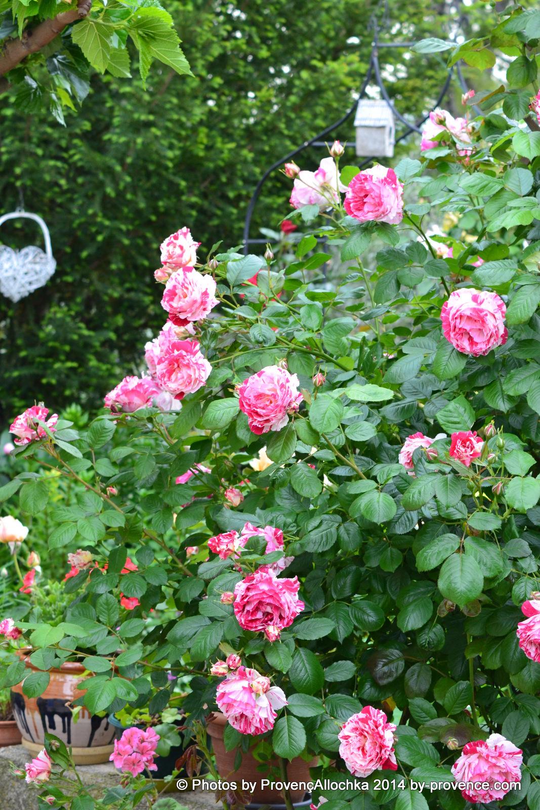 Rose, camaieux,patio