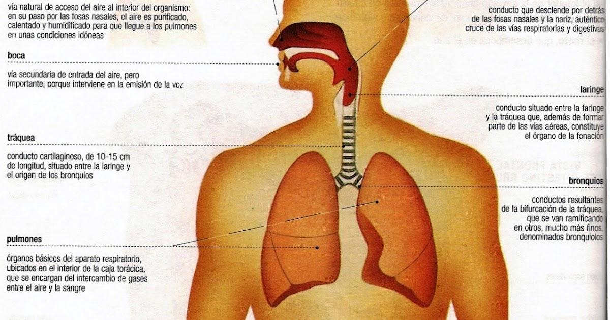 Dorable Superior E Inferior Anatomía De Las Vías Respiratorias Ideas ...