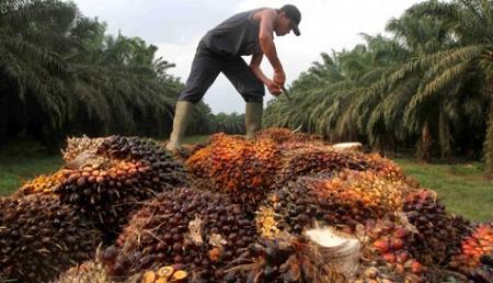 Ada apa dengan kelapa sawit Indonesia