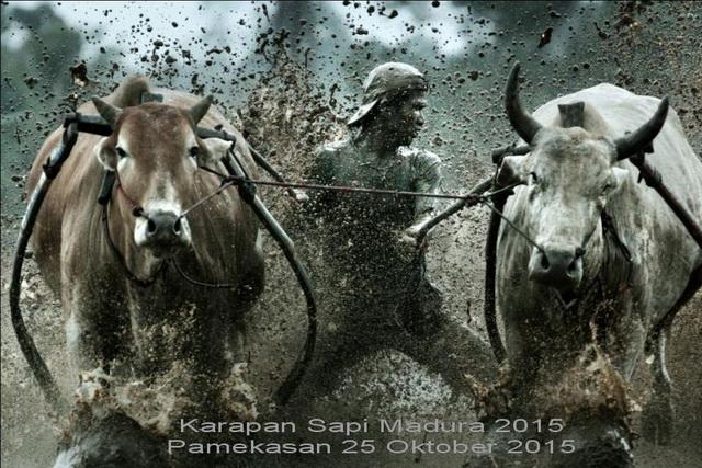 KARAPAN SAPI MADURA 2015 DI PAMEKASAN PULAU MADURA