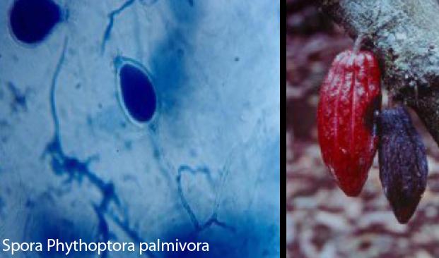 Phythoptora Palmivora Penyakit Busuk Buah Kakao