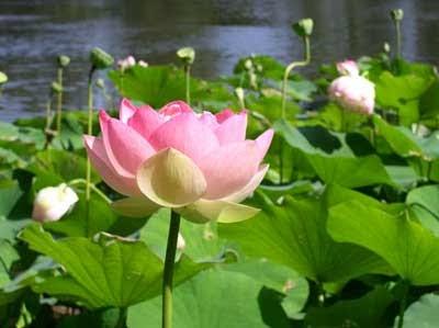 pohon lotus pink