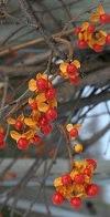 Solanum dulcamara, Bittersweet Nightshade.
