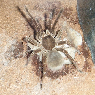 Goliath Birdeater defensive display