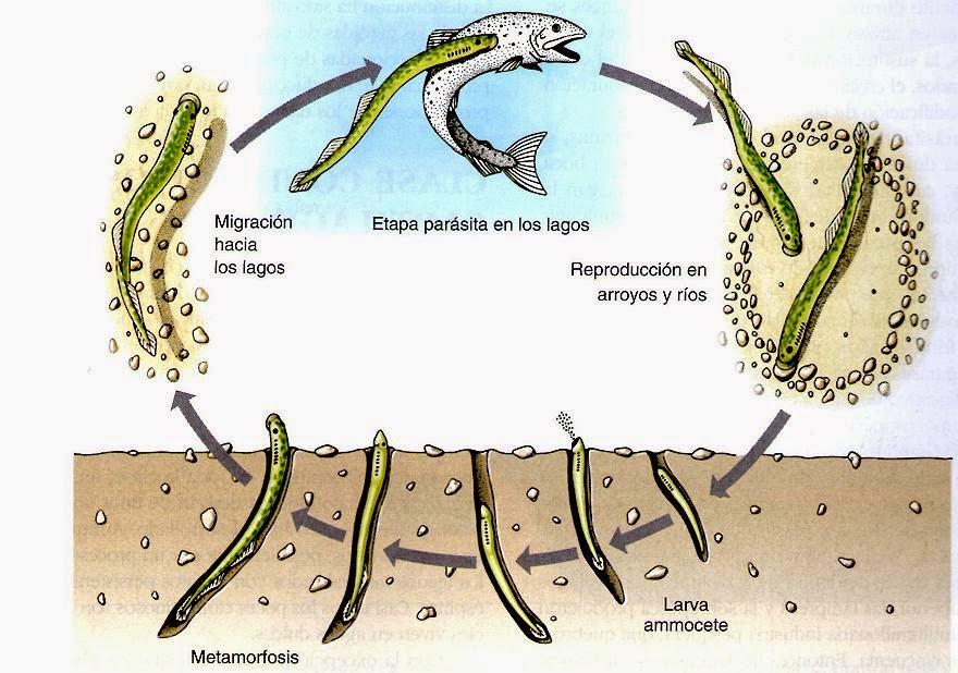 Peces agnatos peces marinos for La reproduccion de los peces