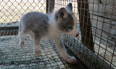 Domesticated Silver Fox Seen On www.coolpicturegallery.us