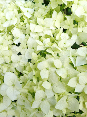 white hydrangea flower iphone