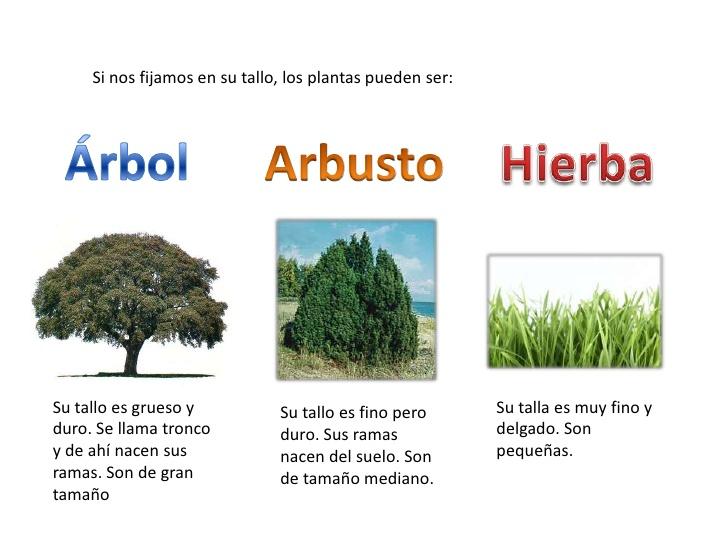 Según su tallo, las plantas se dividen en árboles, arbustos o