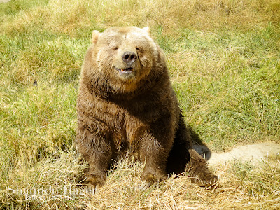 Shannon Hager Photography, Olympic Game Park, Bear