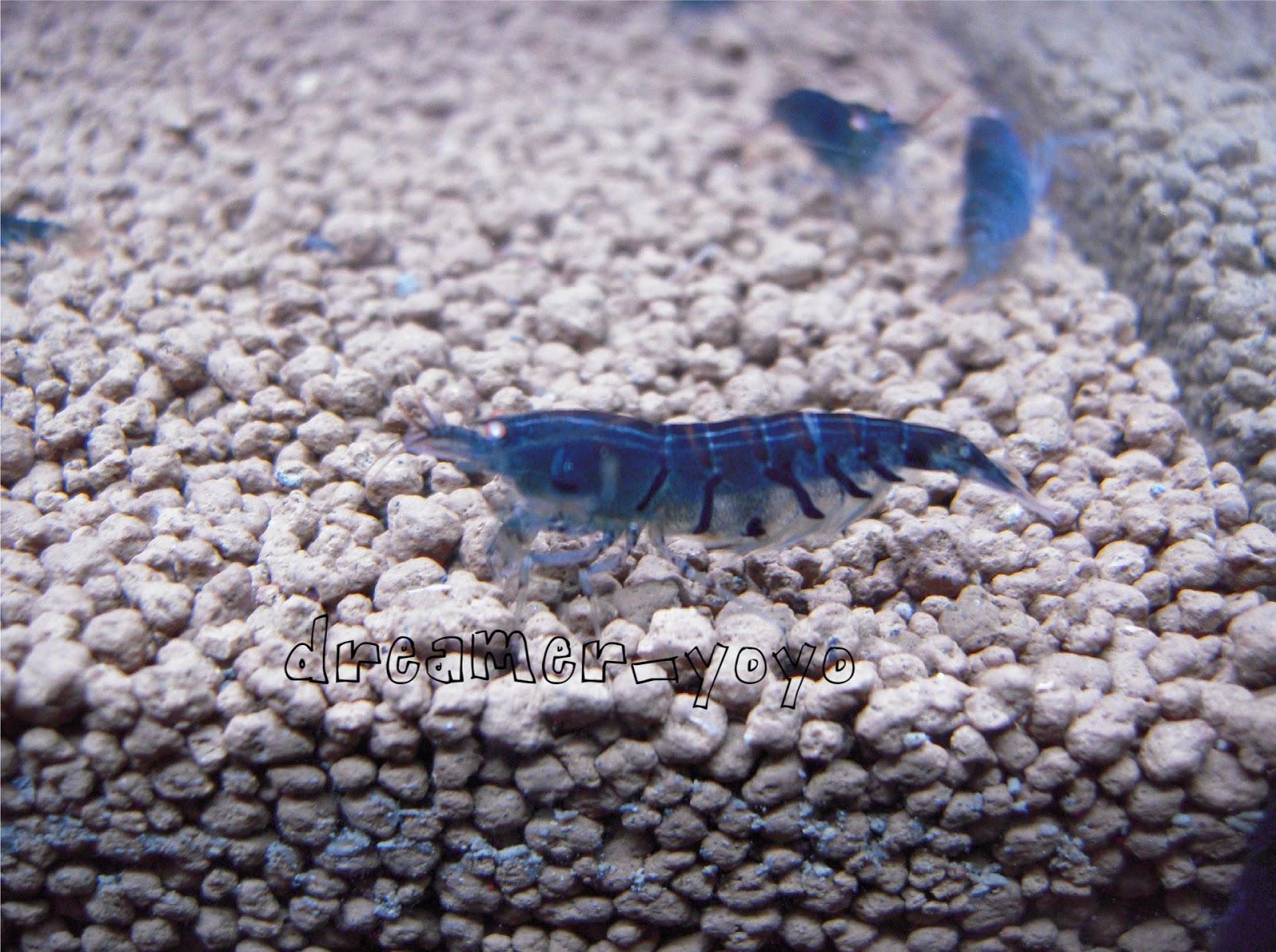 Crystal Red Shrimp: OEBT -- orange eye blue tiger shrimp