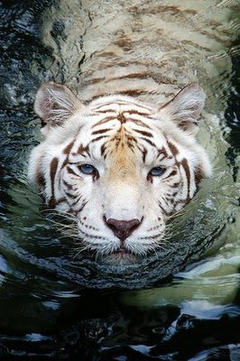 White tiger face