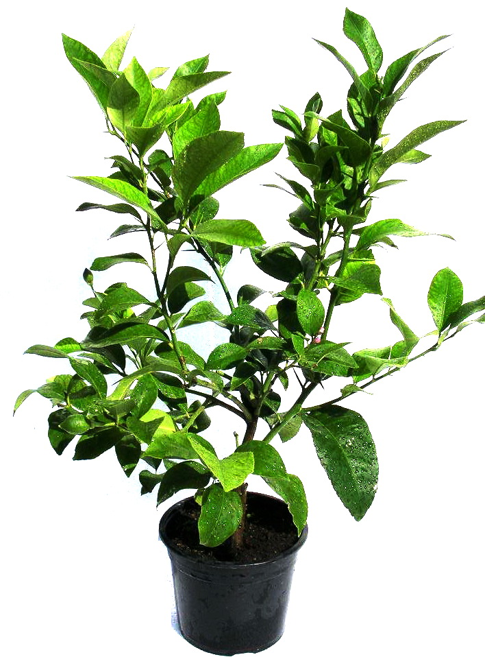 Plante exotice lamai 4 ani 70 80 cm for Plante 70 cm