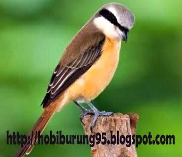 Perawatan Burung | Merawat Cendet Biar Gacor