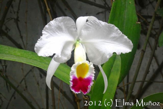 Cattleya trianae 2012 (c) Elma Muñoz