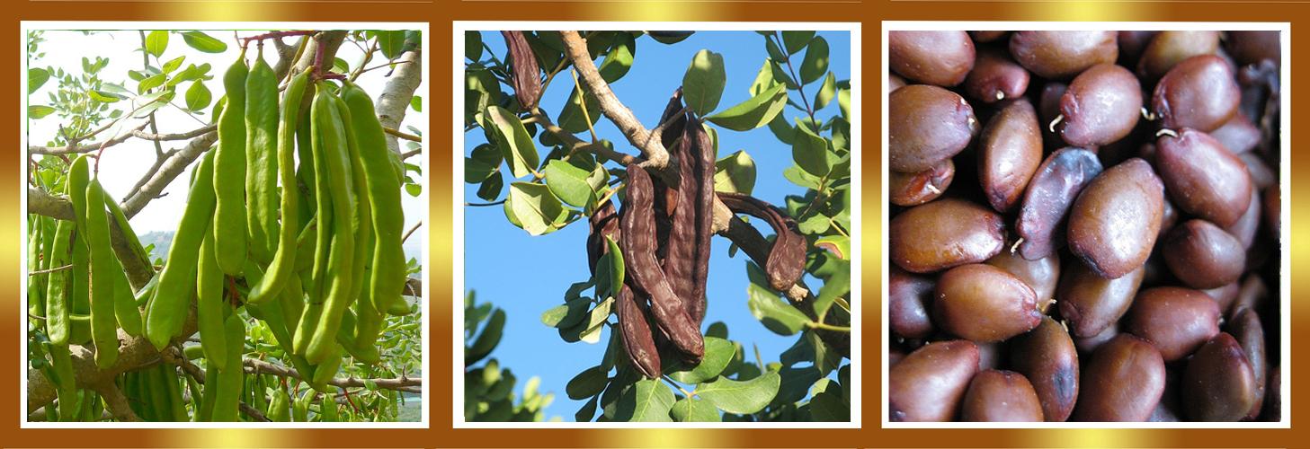 Gu a del plantabosques algarrobo el rbol de san juan for Centro del algarrobo