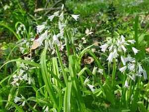 Realt o fantasia l 39 aglio propriet usi medicinali for Quando piantare l aglio