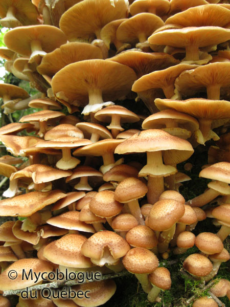 Le mycoblogue du qu bec sortie mycologique st donat 14 septembre - Champignon qui pousse sur les arbres ...
