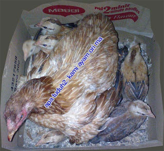 ayam kampung ori punya