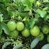 Passiflora Edulis - Fashion Fruit