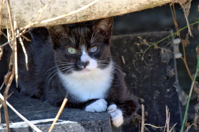 adoptable tuxedo kitten looks at the world and wonders