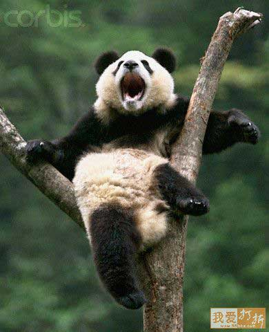 Panda bear funny - photo#1