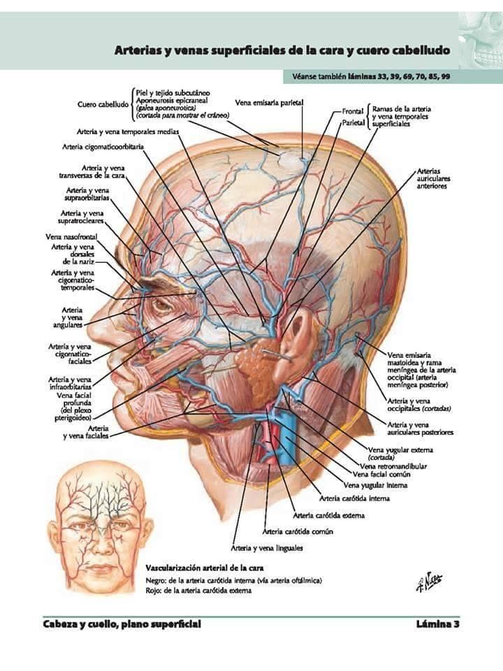 Apuntes Med: Repaso para Primer Parcial de Anatomía I