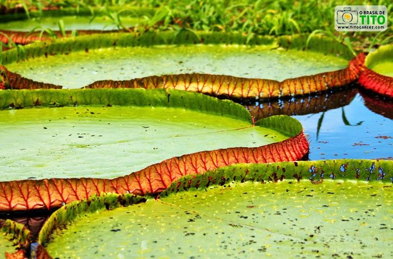 Vitórias-régias (Victoria amazonica) em área alagada de ilha localiza em Santarém, no Pará, na Amazônia