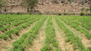 ORGANIC STEVIA CULTIVATION