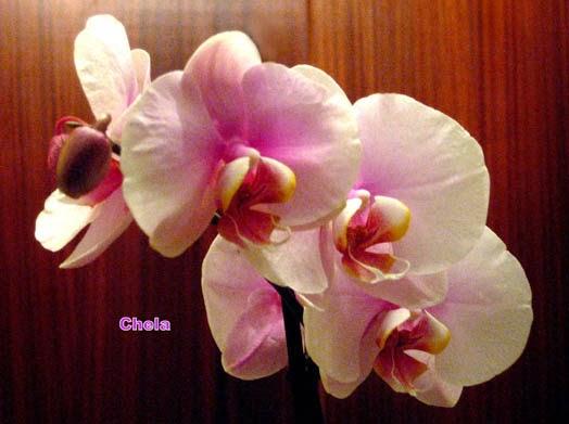 Orquídeas, obsequio en mi cumpleaños, en el Día de Reyes