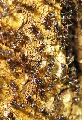 Rambutan ants Dolichoderus bituberculata