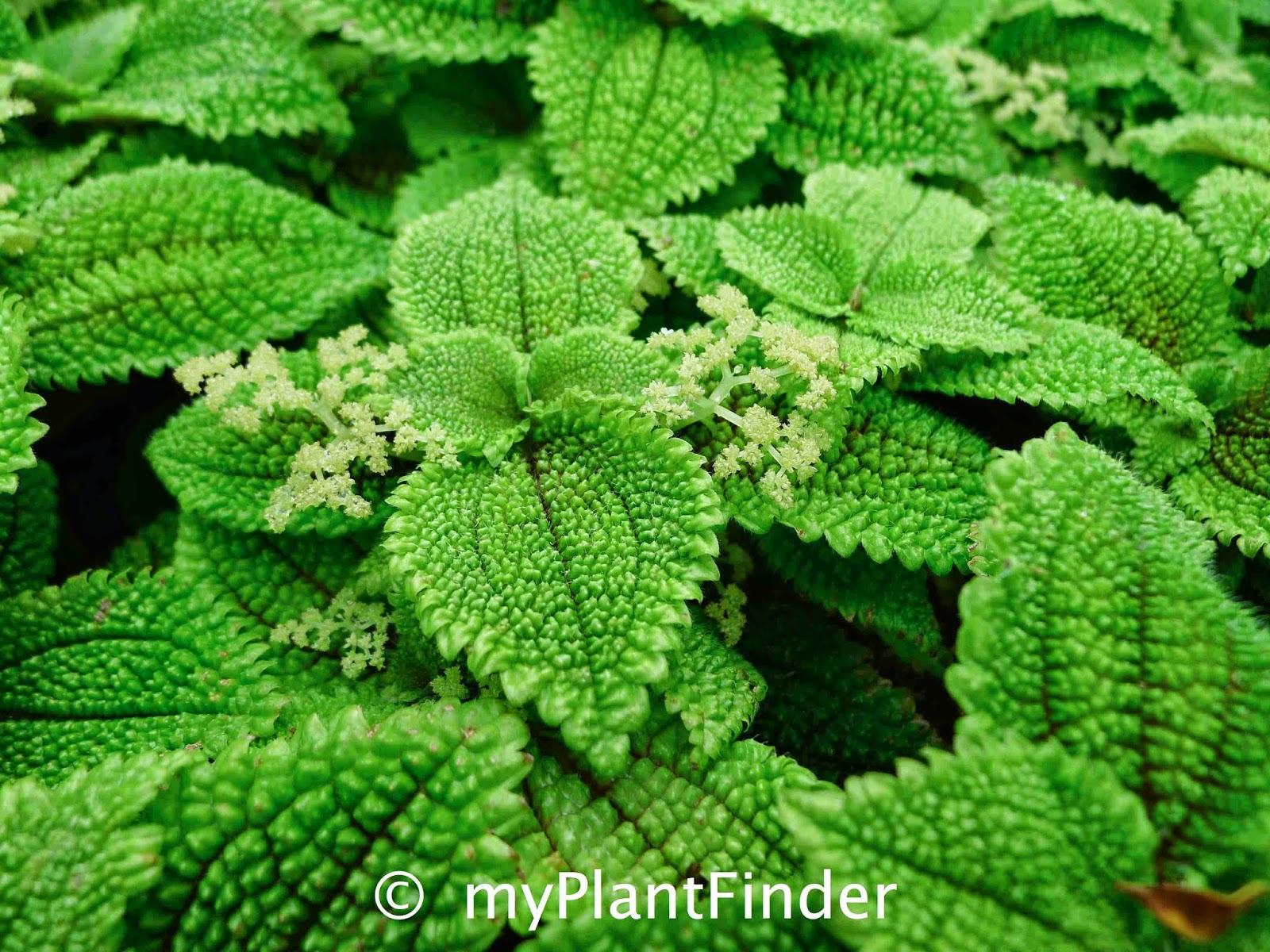 My plant finder plant guide pilea involucrata cultivar for Plante pilea