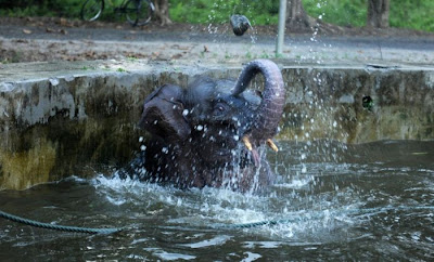 Baby Elephant Rescue From Drowning Seen On www.coolpicturegallery.us