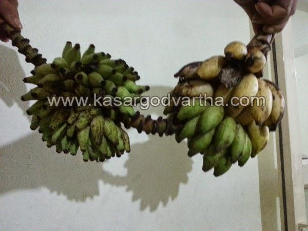 Kasaragod, Kerala, Coconut, Birds, House, Town, Vice president, Banana