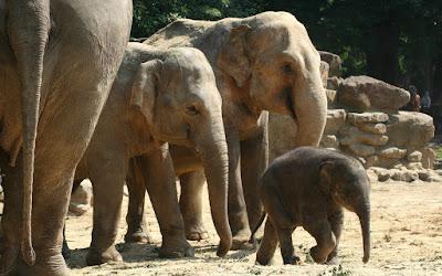 Olifantenfamilie Dierentuin Emmen