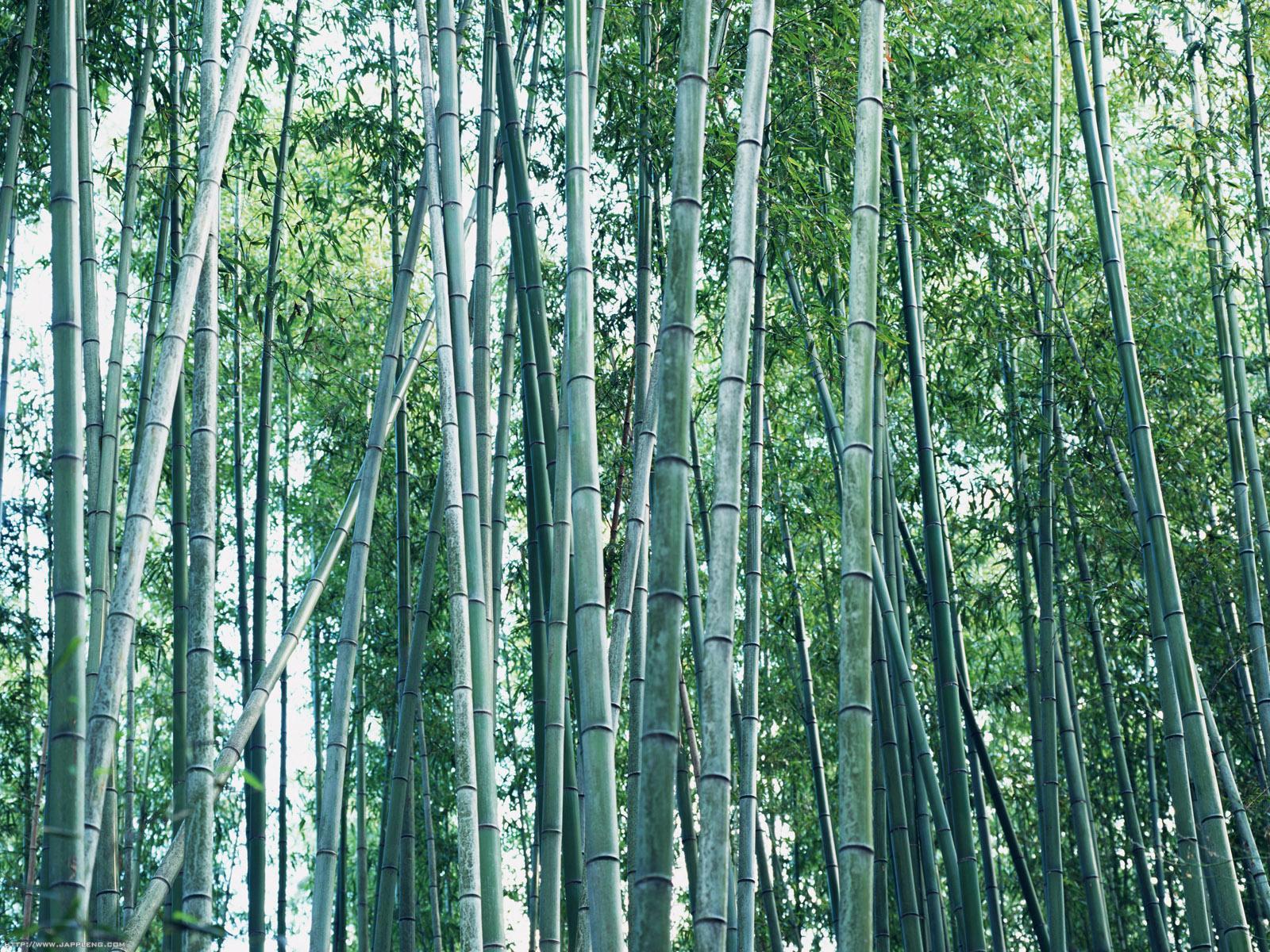 http://2.bp.blogspot.com/-hauXVSXlNc0/Tq0ce0JmWZI/AAAAAAAABe0/PvUhqyhg6to/s1600/japanese-bamboo-wallpaper.jpg