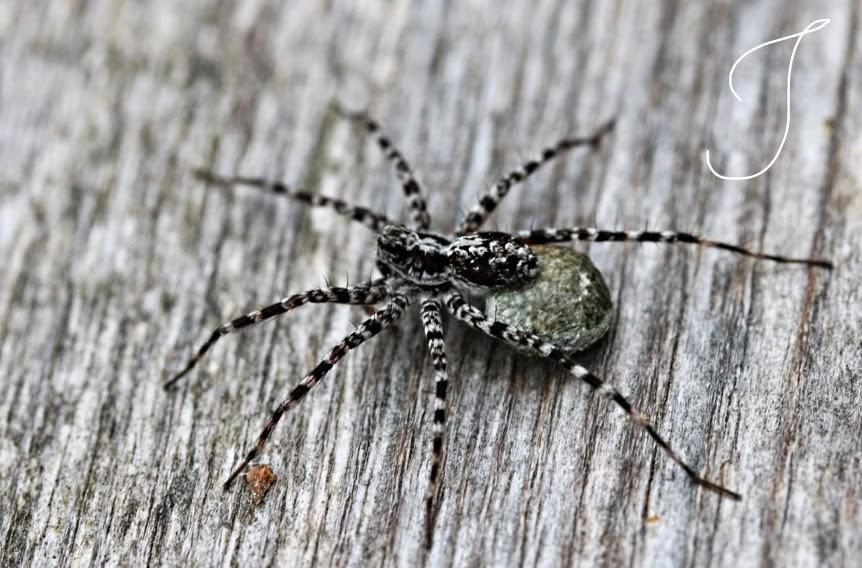 niittysusihämähäkki