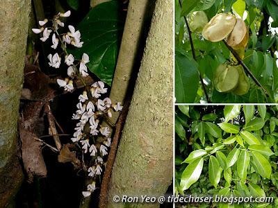 Mangrove Derris (Derris trifoliata)