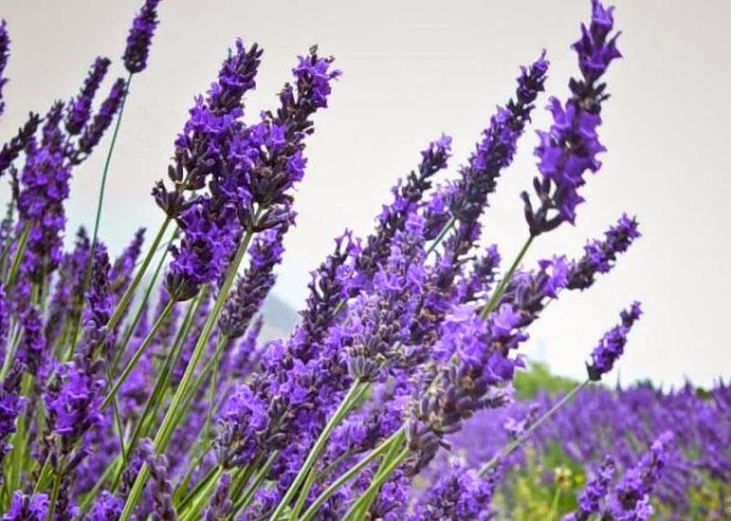 Khasiat Bunga Lavender untuk Kesehatan