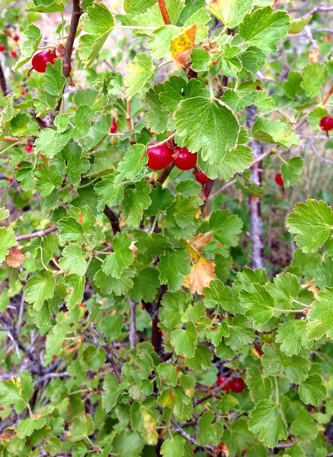 Rocky Mountain Bushcraft: Rocky Mountain Edible Plant ...