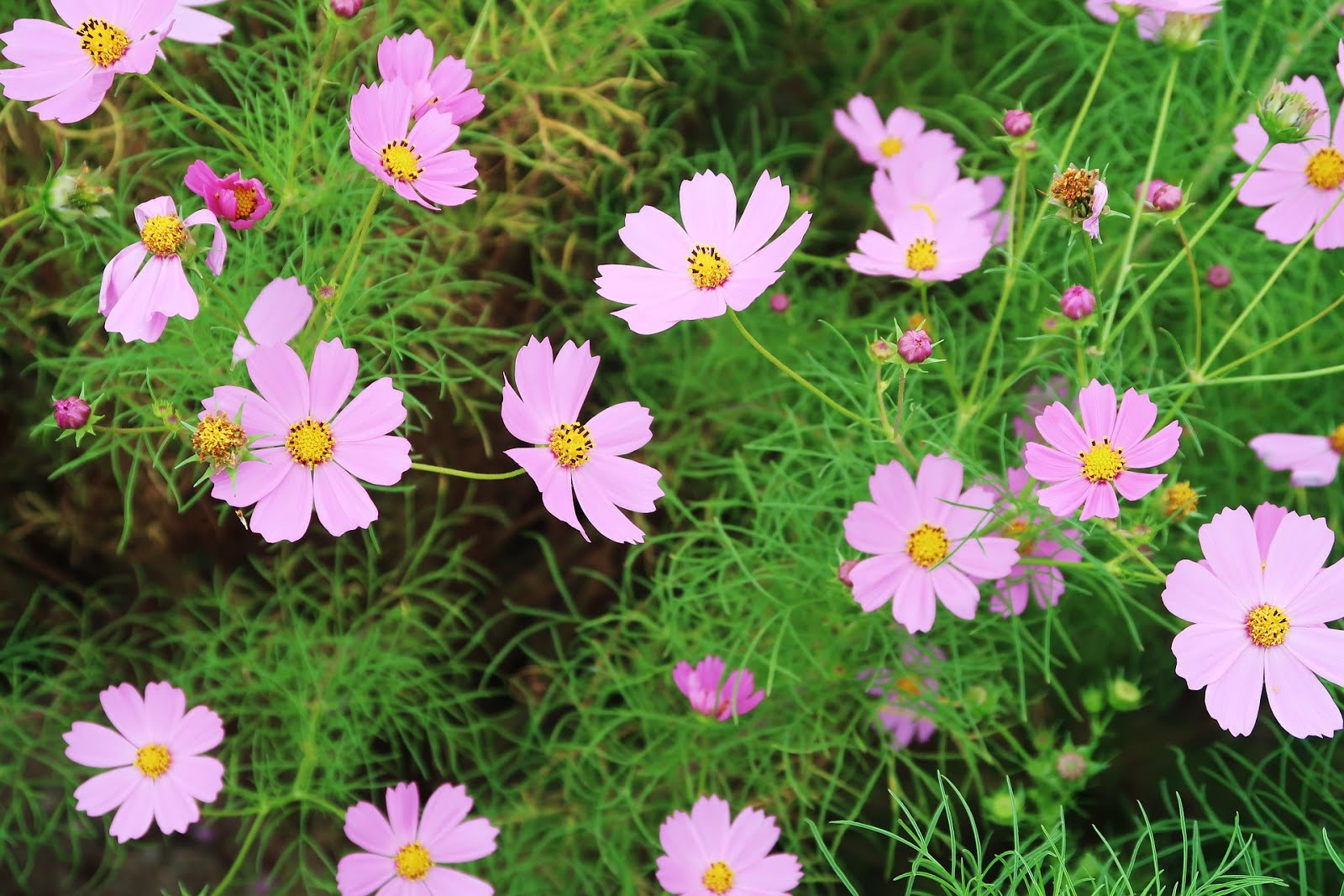Star nursery blog get the flower garden of your dreams cosmos is a delicate fernlike plant with large bright daisy like flowers in shades of pink purple white or lavender it frequently reaches 3 feet in izmirmasajfo