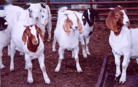 Sang Pena, lima ekor kambing, jeddah