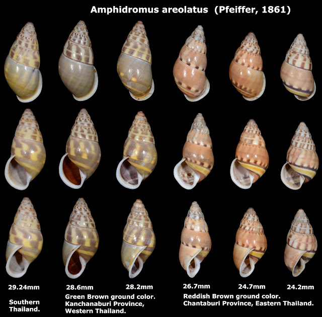 Amphidromus areolatus 24.2 to 29.24mm
