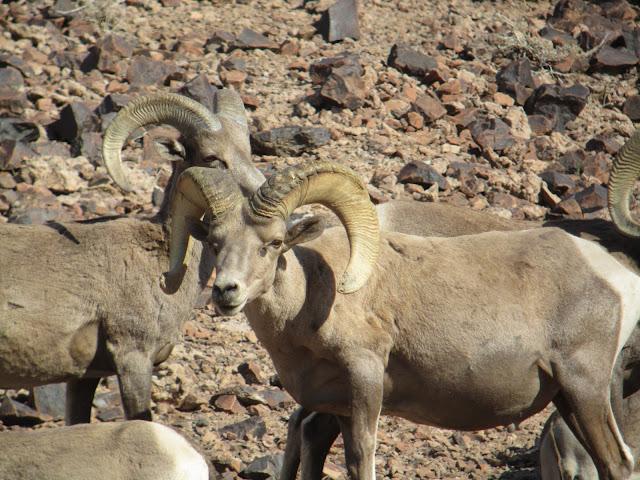 AZ+Desert+Bighorn+Sheep+Scouting+Pics+by+Colburn+and+Scott+Outfitters+17.JPG