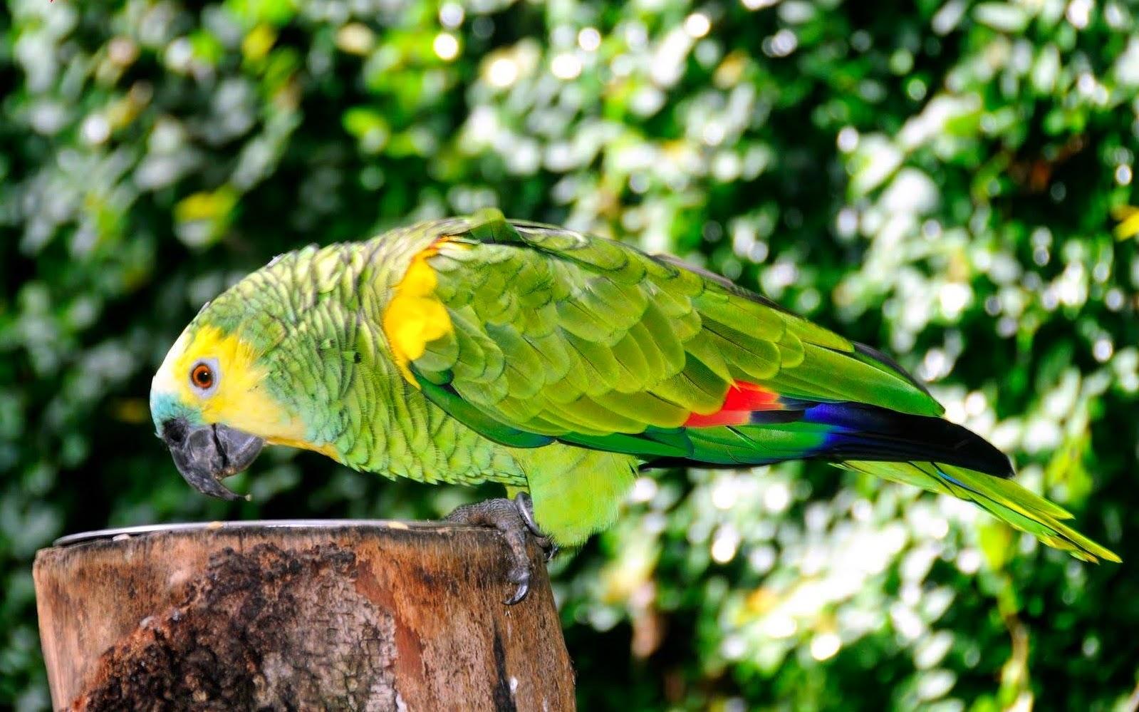 Loro: cuidados y nombres para tu mascota. Loro Amazónico