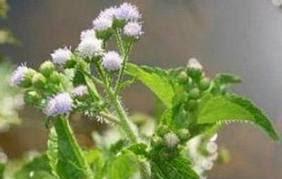 Perawatan rambut alami dengan herba bandotan