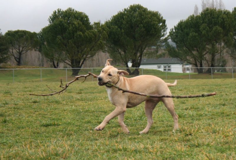 chloe prancing around with a 6 foot tree branch in her mouth