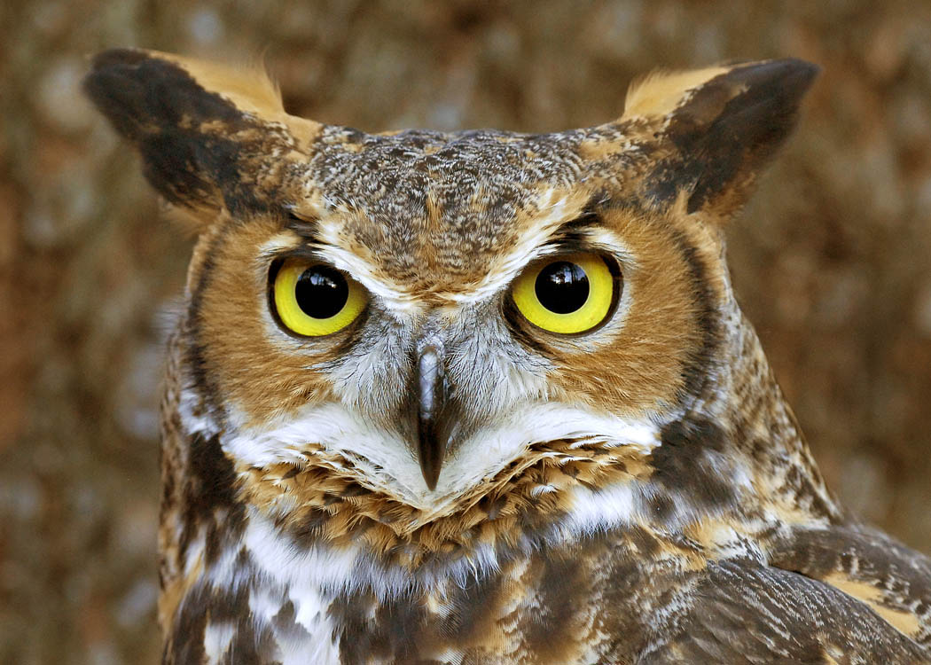 owl the biggest animals kingdom